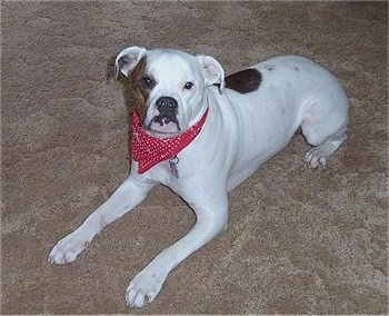 Valley Bulldog Dog Breed Pictures 2