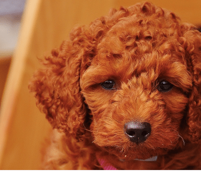 Everything You Need To Know About The Moyenklein Poodle