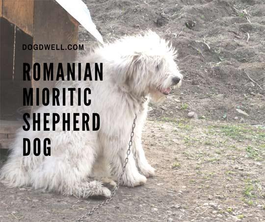 romanian mioritic shepherd dog