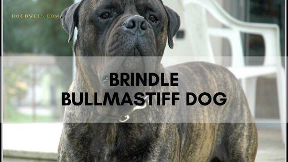 Brindle Bullmastiff Dog