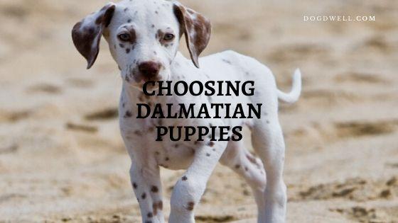 Choosing Dalmatian Puppies