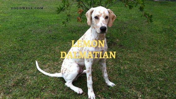 lemon-dalmatian