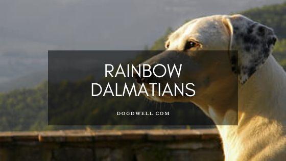 rainbow dalmatians