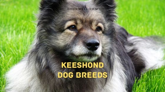 keeshond dog breeds