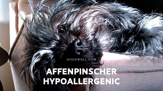 affenpinscher hypoallergenic