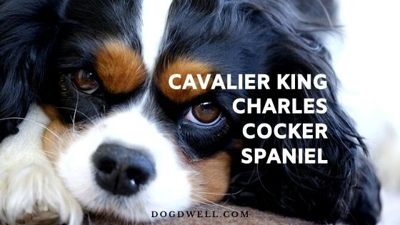 Cavalier King Charles Cocker Spaniel