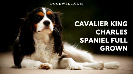 Cavalier King Charles Spaniel Full Grown