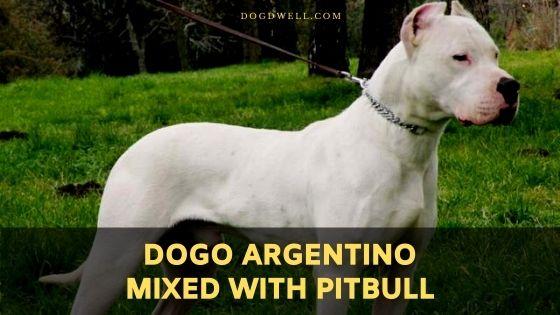 dogo argentino mixed with pitbull