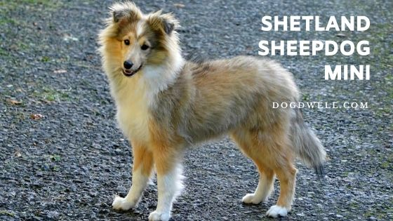 shetland sheepdog mini