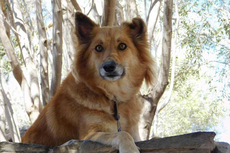 finnish spitz dog