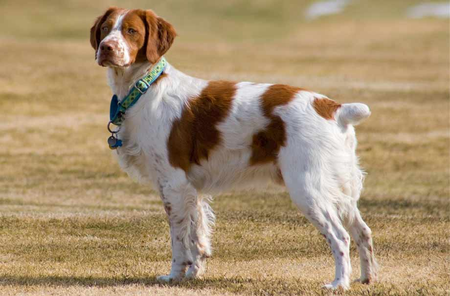 french brittany spaniel french brittany spaniel puppies for sale french brittany spaniel puppies french brittany spaniel breeders french brittany spaniel puppies for sale near me french brittany spaniel for sale french brittany spaniel black and white
