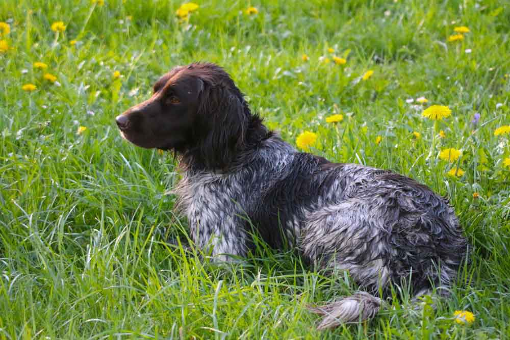 English Longhaired Pointer