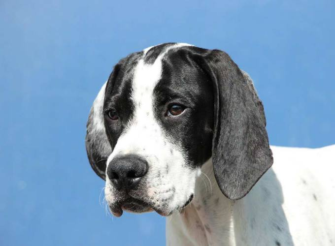 Black and White English Pointer