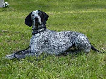 English Pointer Breed