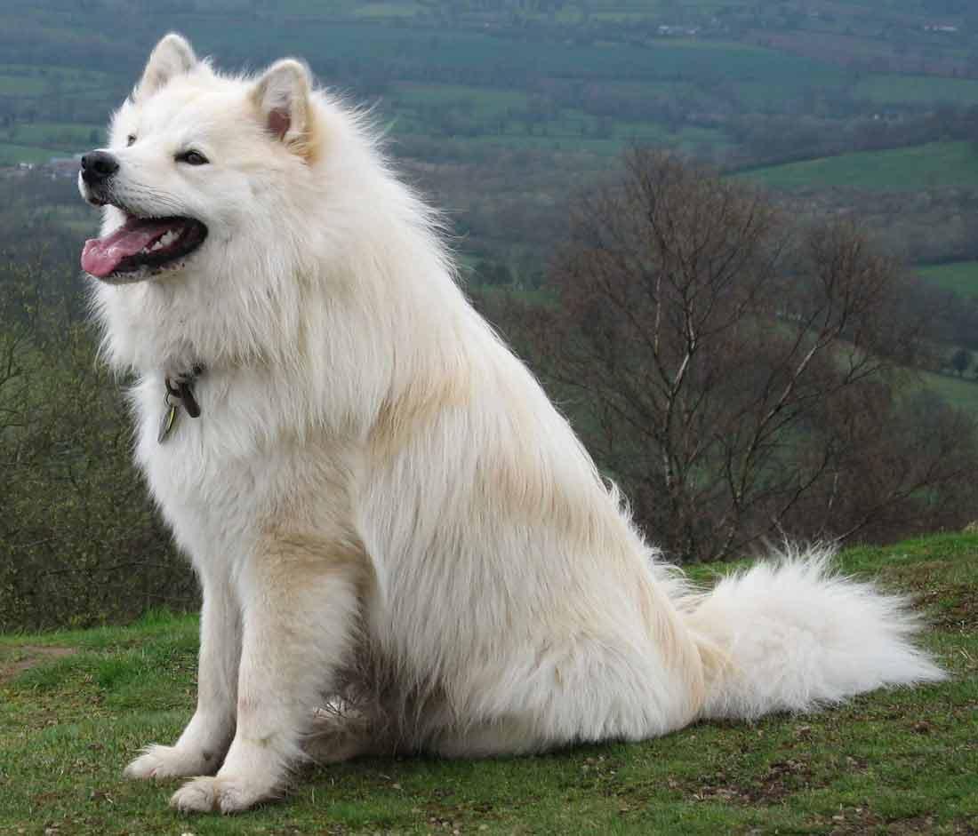 Finnish Lapphund White