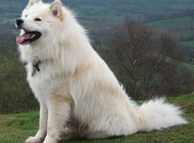 Finnish Lapphund White