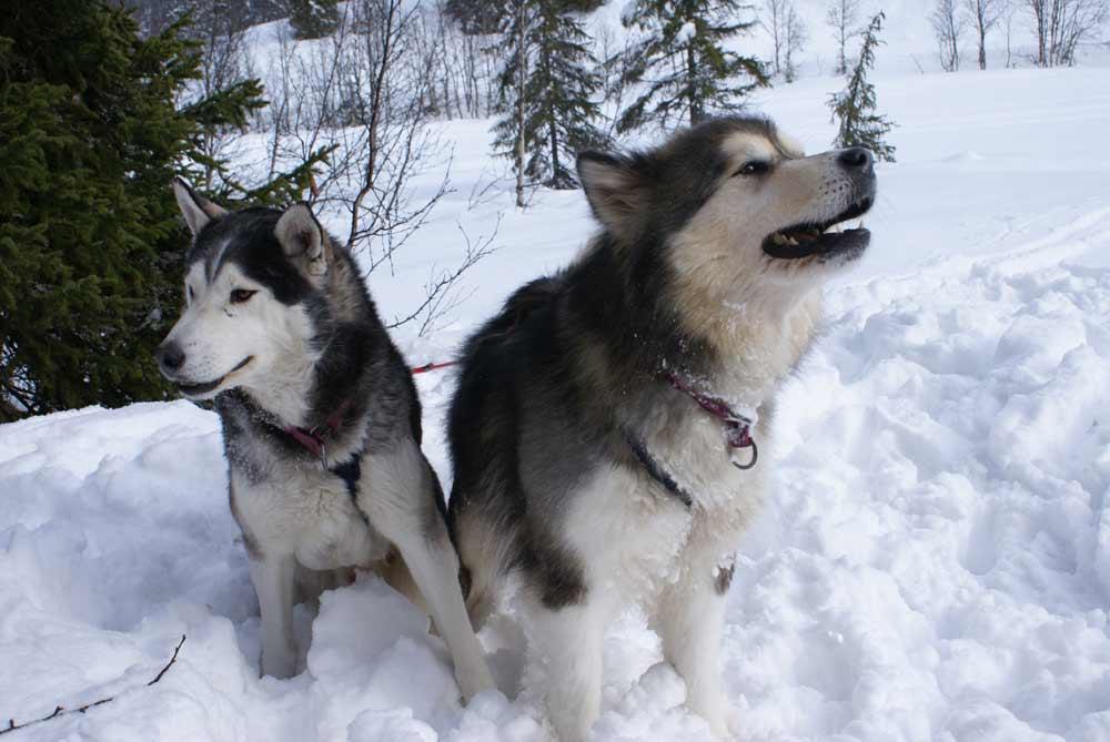 Husky Alaskan Malamute