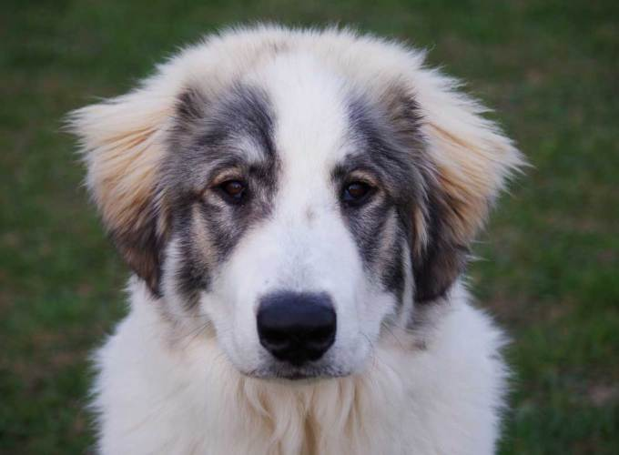 Miniature Great Pyrenees