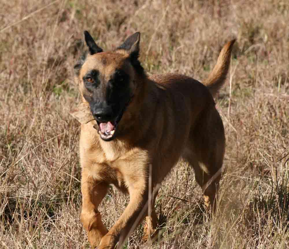 belgian shepherd malinois dog