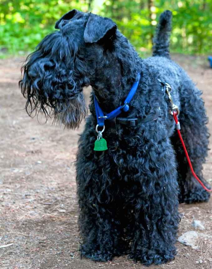 Irish Blue Terrier