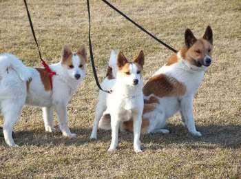 Norrbottenspets Puppies