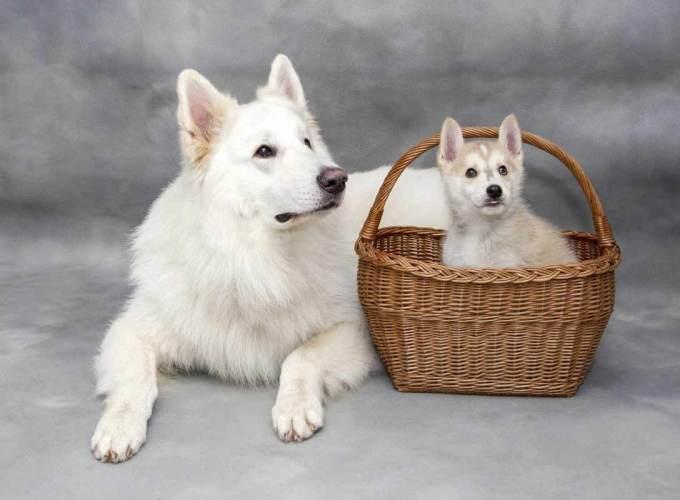 White Swiss Shepherd Puppy