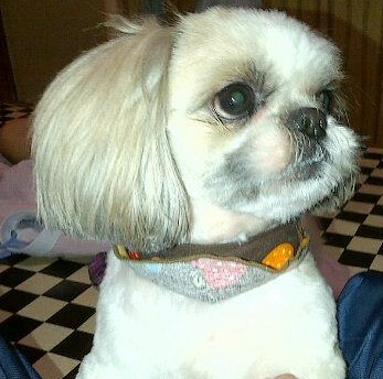 Looking For New Grooming Ideas For My Shih Tzu