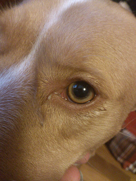 Both dogs have mucusy eyes.