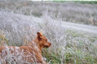 Fox i det frostnypna gräset