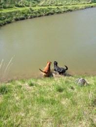 Först fick jag och Fox svalka oss i dammen på Annelunds Gård.