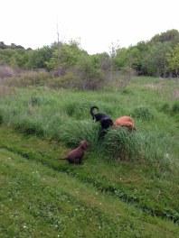 Jag och Fox tycker att Hobby inte får vara i det höga gräset. Än.