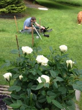 Matte fick väldigt fina rosor!