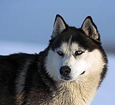 https://i0.wp.com/www.doggies.com/images-new/breed-guide-dog-photos/alaskan_husky.jpg