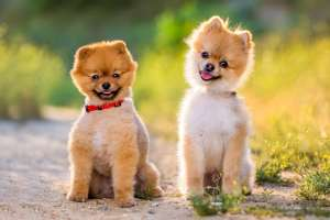 Best Pomeranian Dog Photographer in Los Angeles