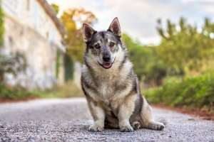 Swedish Vallhund in a French Vineyard dog portrait