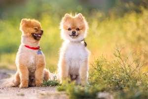 Los Angeles Pomeranian Pet Portrait
