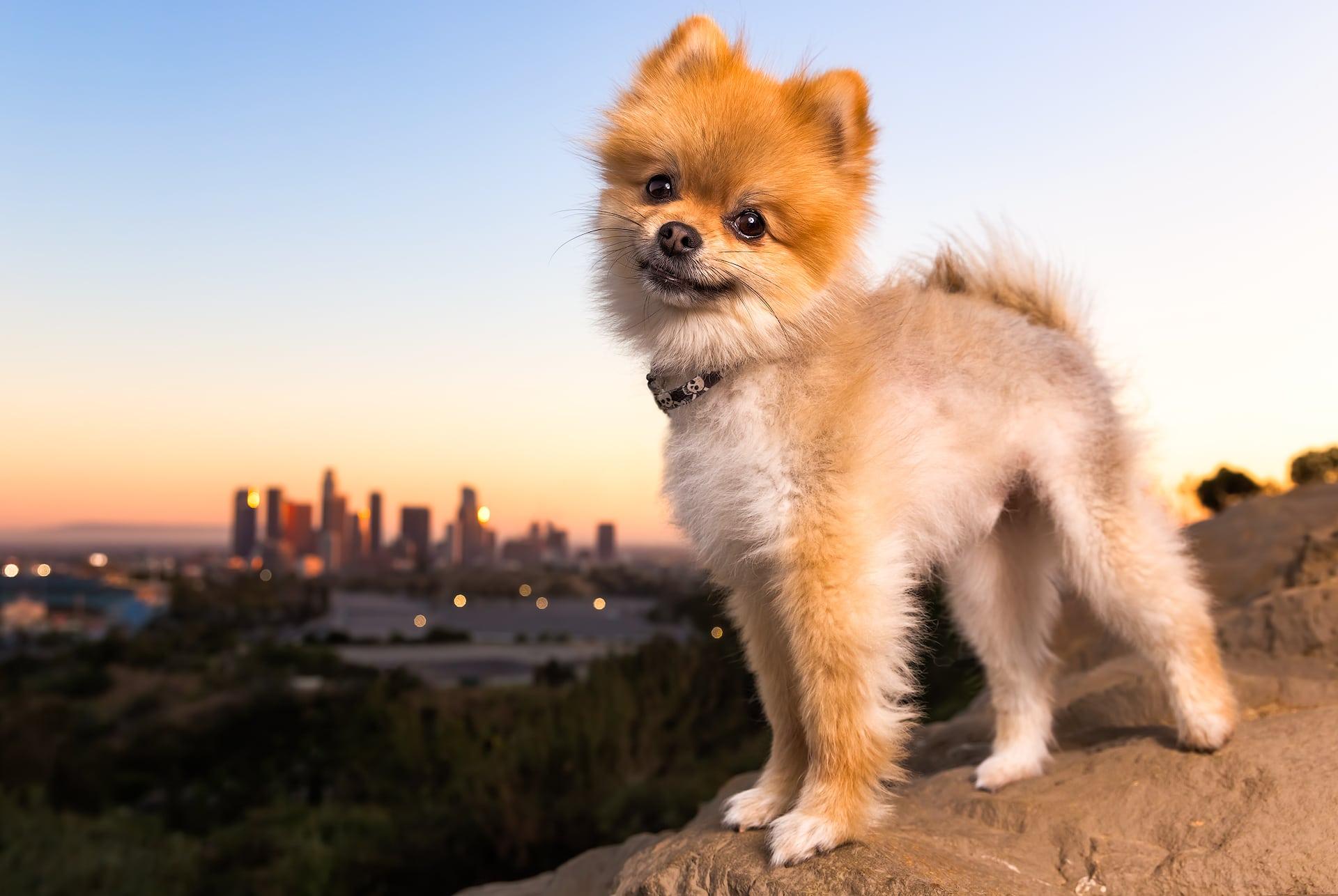 pomeranian dog los angeles skyline sunset