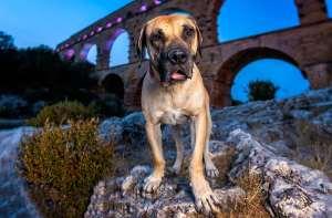 pressa canario dog france pont du gard