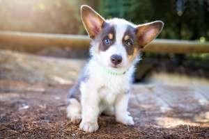 Corgi Puppy Los Angeles dog photographer