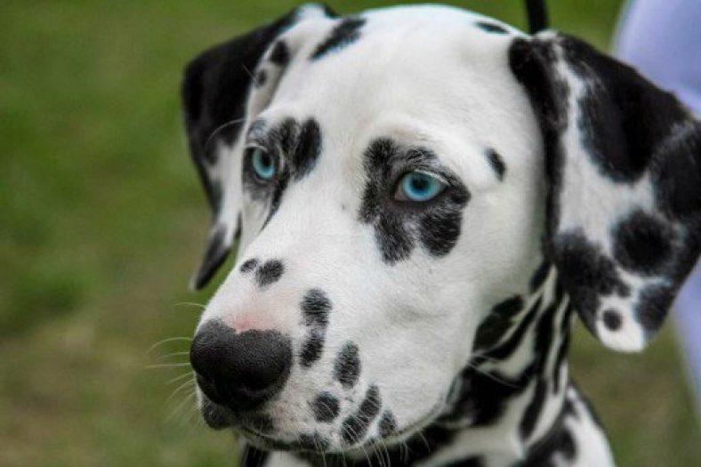 blue eyes in dogs