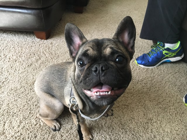 teaching a high energy french bulldog puppy to calm down and