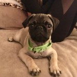 Tips To Stop A Brentwood Pug Puppy From Nipping And Mouthing Dog Gone Problems