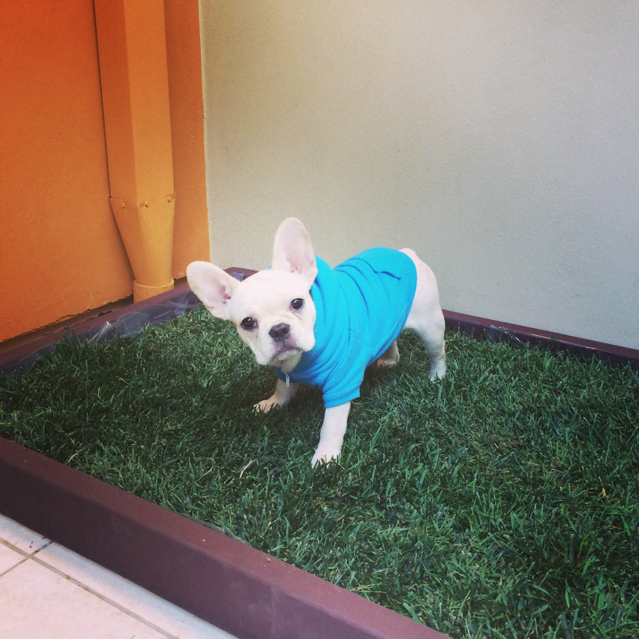 doggy patch of grass for potty training