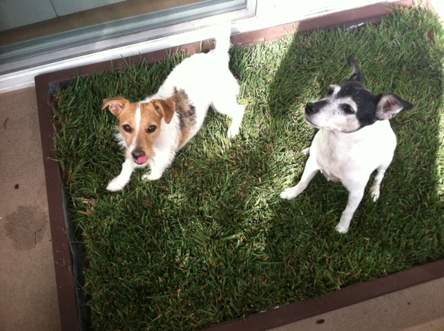 Dog Potty Grass Tips Doggy And The