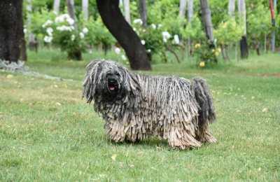 Puli Hund