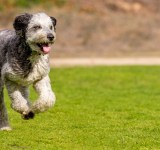 Grey and black husky poodle mix running in a field