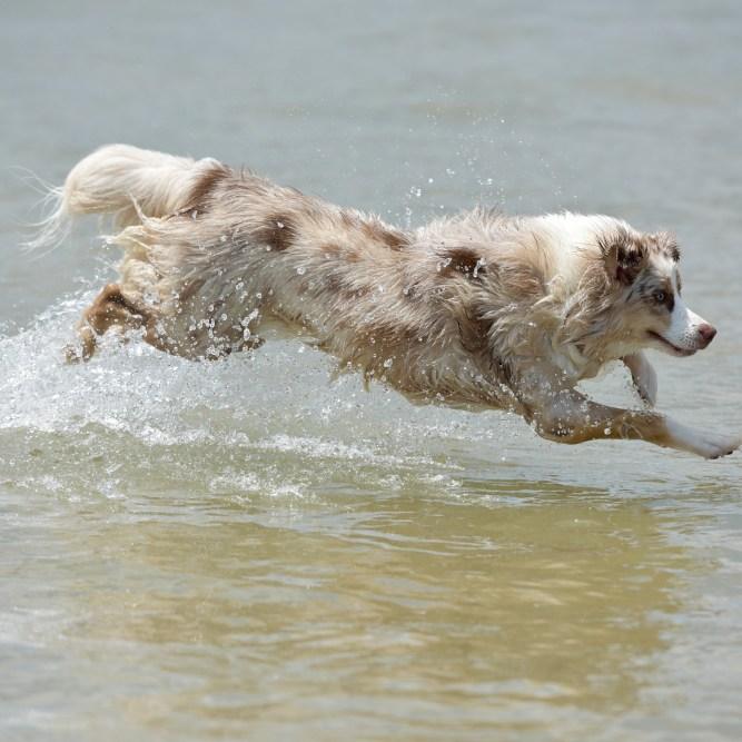 australian shepherd dog lunging over water