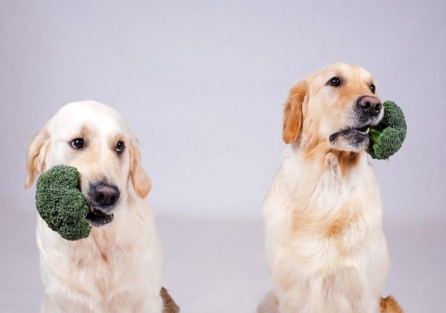 Two labradors with broccoli in their mouthes
