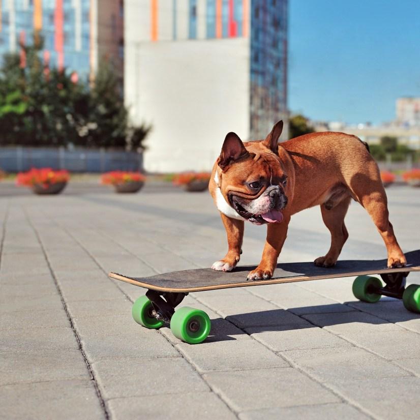 Dog riding on skateboard