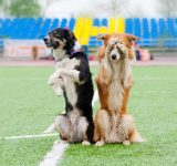 two dogs performing tricks in soccer field